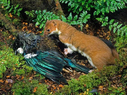 Stoat -&-tui _©-Rod -Morris -www .rodmorris .co